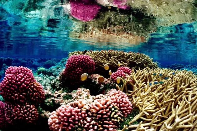 coralfws640 629x418 Voz de alerta para os arrecifes do Caribe